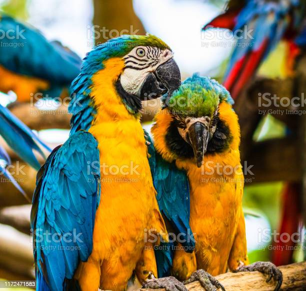 Blue and yellow macaw parrot in a natural park in cartagena colombia picture id1172471583?b=1&k=6&m=1172471583&s=612x612&h=gwkbtpq mnji5ll k0jkhjdqymzb snpnp942axprwa=