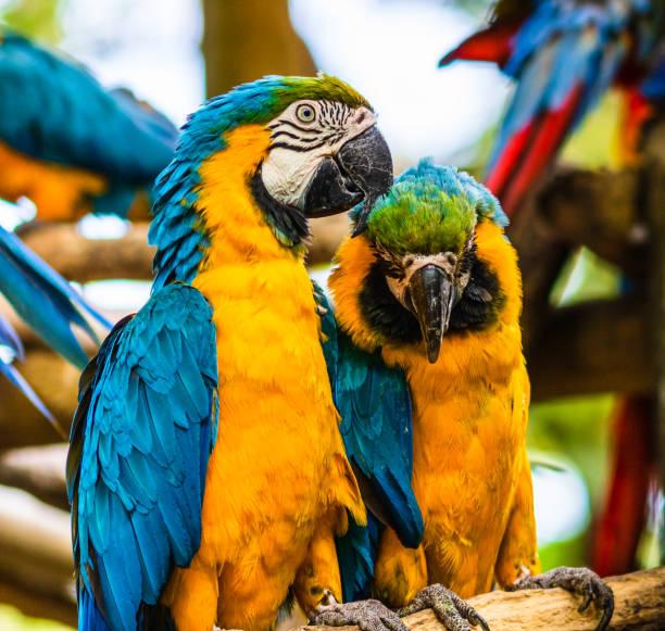 Blauer und gelber Ara, Papagei in einem Naturpark in Cartagena, Kolumbien – Foto