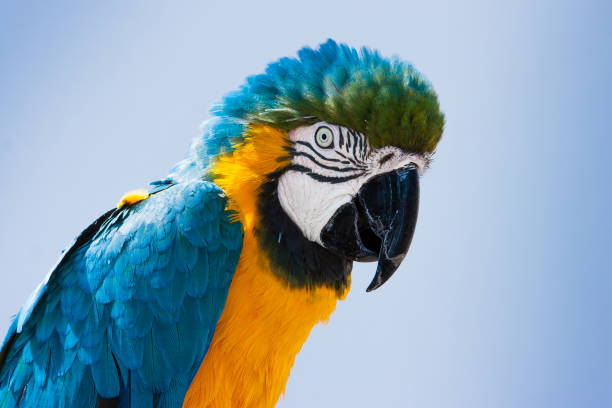 Blue and yellow Macaw parrot (Ara ararauna) in Lanzarote, Canary Islands, Spain. Closeup portrait of a blue and yellow Macaw parrot (Ara ararauna) in Lanzarote, Canary Islands, Spain. parrot stock pictures, royalty-free photos & images