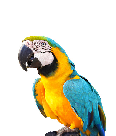 Colorful parrot on white bagraund.