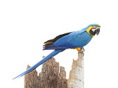 Green macaw parrot. Side view of wild ara parrot head on jungle background. Wildlife watching safari, rainforest fauna, exotic tropical birds as popular pet breeds.