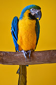 close-up of a blue and yellow macaw also known as blue and gold macaw on a branch