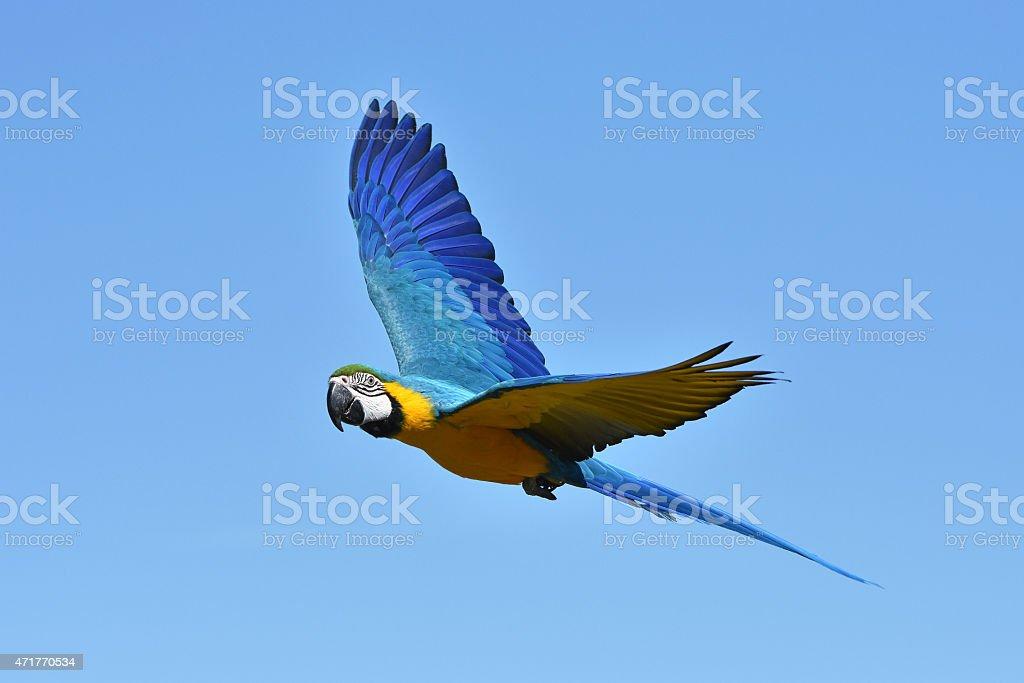 Arara-azul e amarelo (Ara ararauna) - foto de acervo