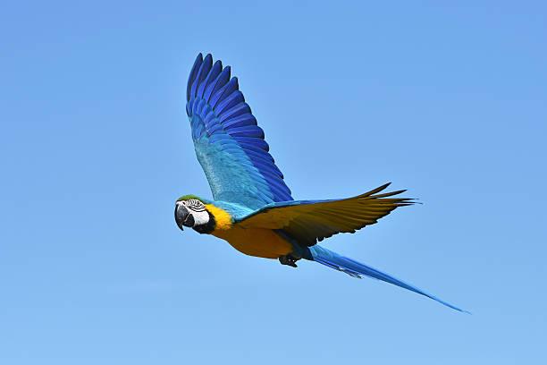 Blue and yellow Macaw (Ara ararauna) stock photo