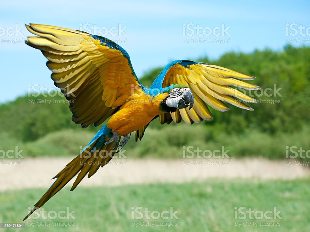 Blue and yellow Macaw (Ara ararauna) royalty-free stock photo