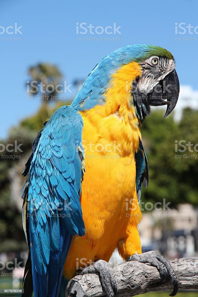 Blue and yellow macaw stock photo