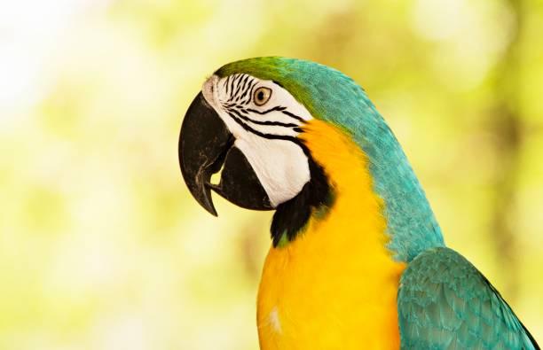 ara bleu et jaune - animaux familiers exotiques photos et images de collection