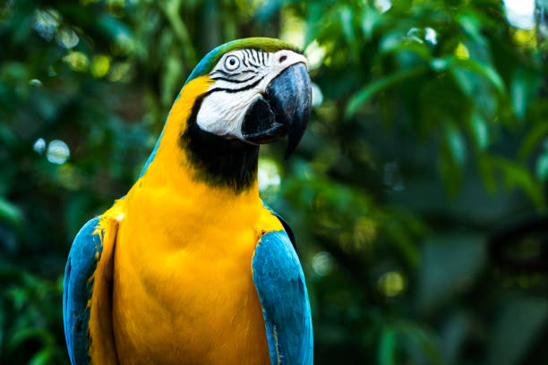 Blue and yellow macaw tropical bird, brazilian rainforest stock photo
