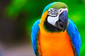 istock Blue and Yellow macaw tropical BIRD, brazilian rio rainforest 537812312