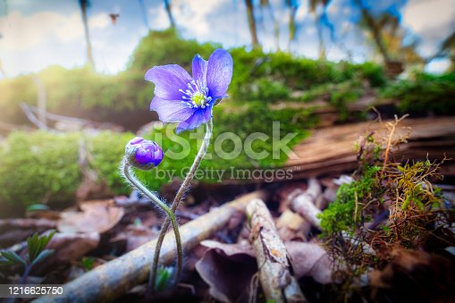 Two young blue anemone flower in backlit light and wonderful bokeh in background