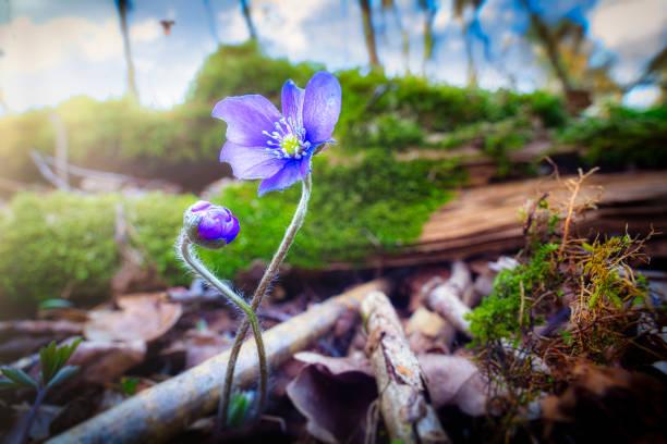 Blue Anemone, Hepatica stock photo
