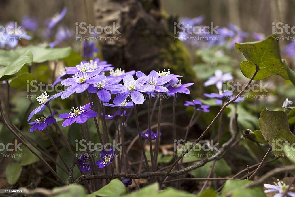 Blue anemone in spring. stock photo