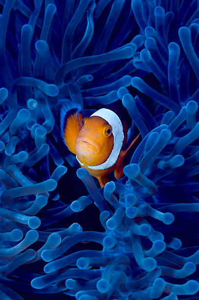 Blue anemone Clown fish in blue anemone anemonefish stock pictures, royalty-free photos & images