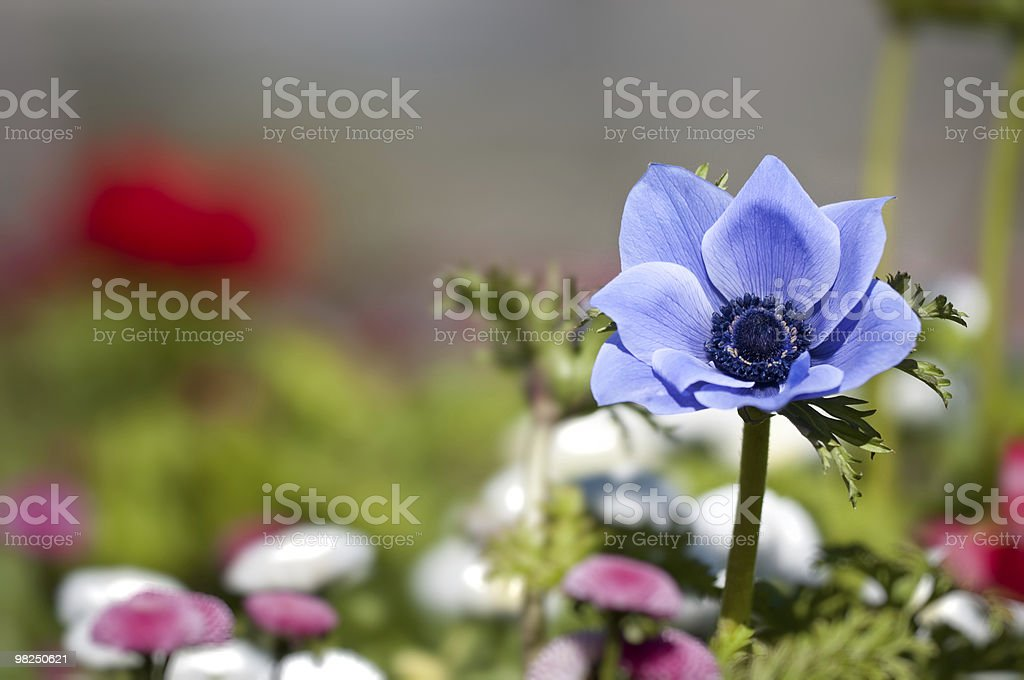 anemone blu foto stock royalty-free