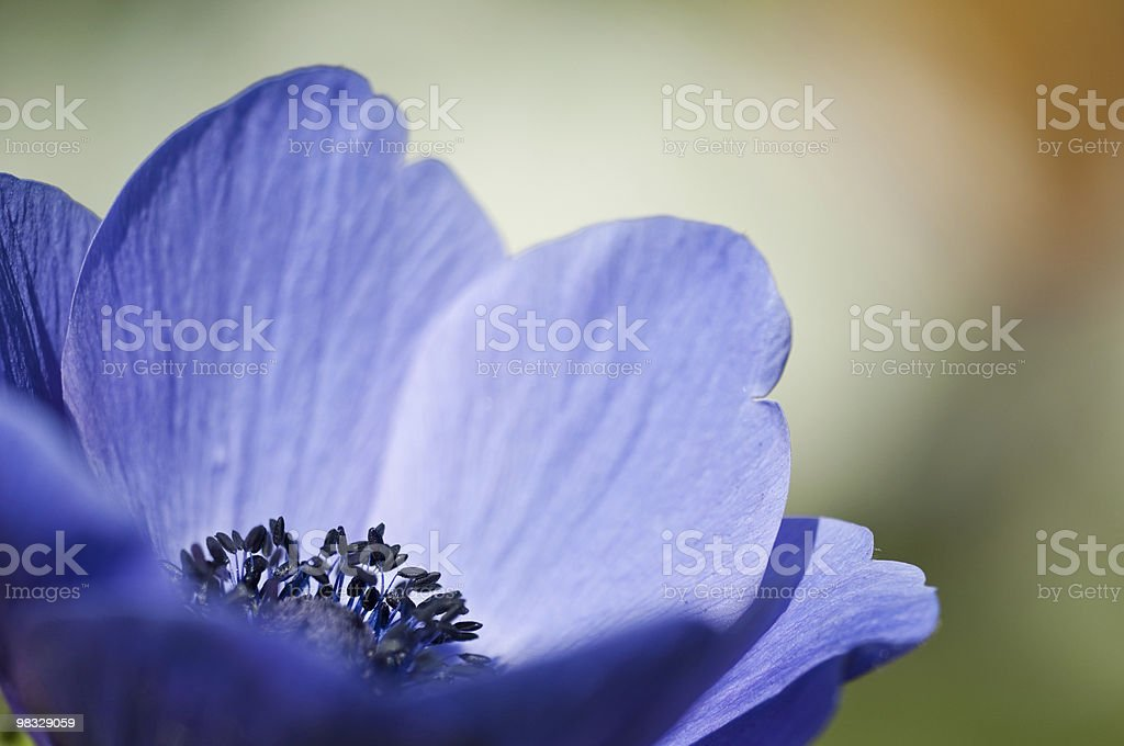 Blue anemone (macro) royalty-free stock photo