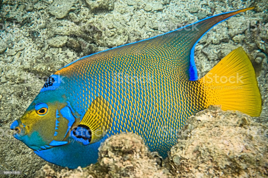 Blue Angel Fish - Roatan, Honduras stock photo
