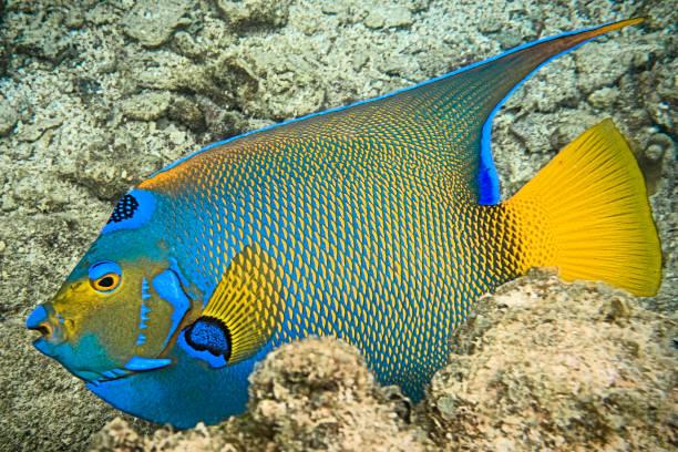 Blue Angel Fish - Roatan, Honduras stock photo
