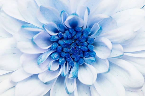 blue annealed Chrysanthemum stock photo