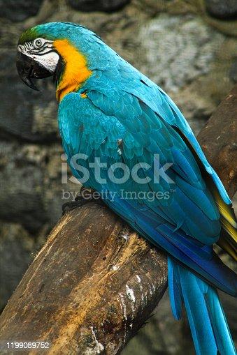 Blue arara