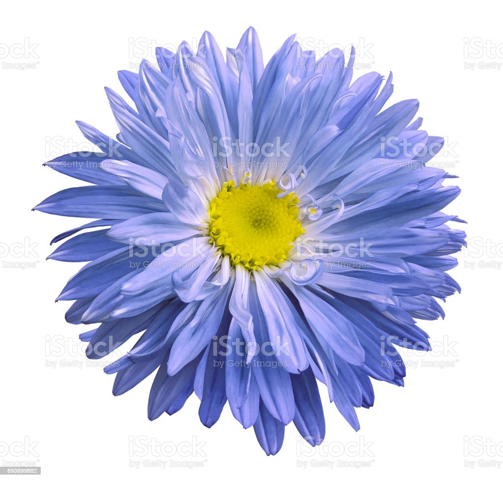 Blue Aster Flower On A White Isolated Background With Clipping Path