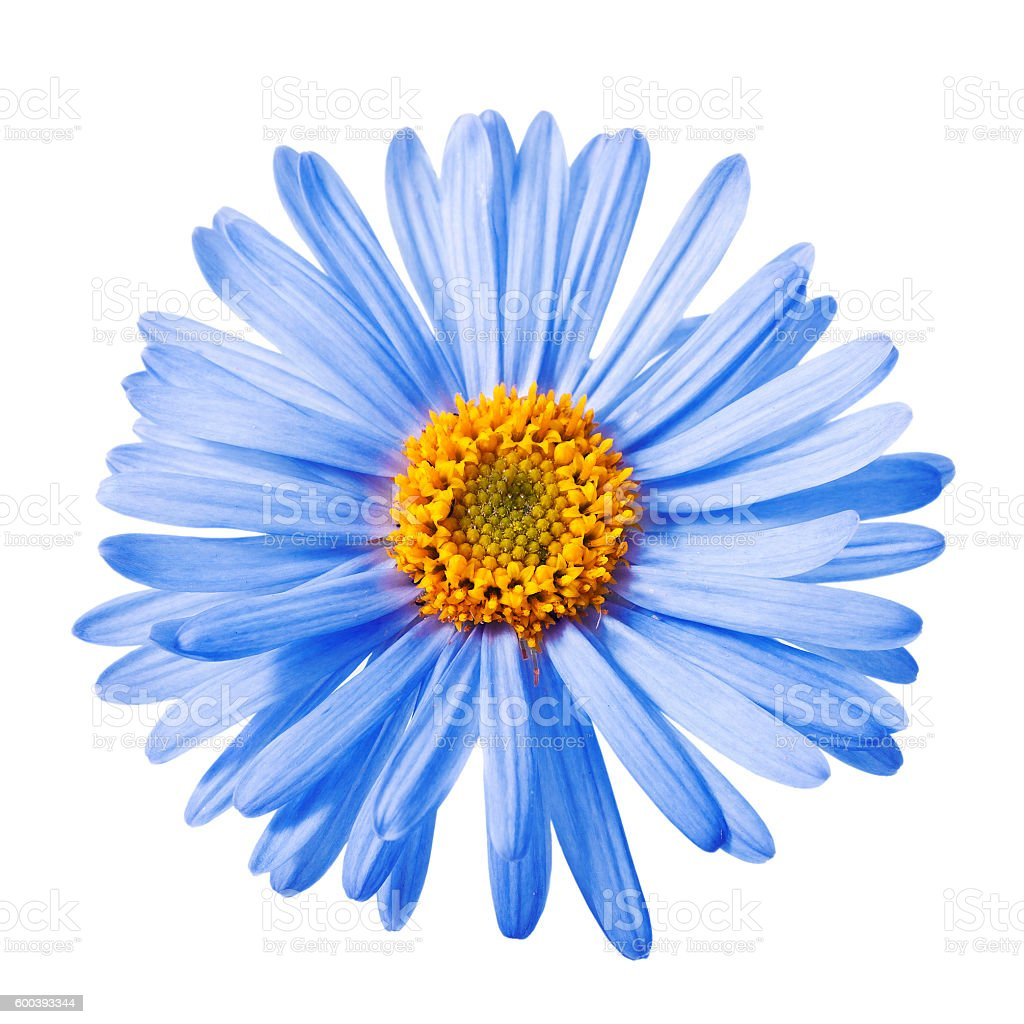 Blue Aster Flower Stock Photo More Pictures Of Aster Istock