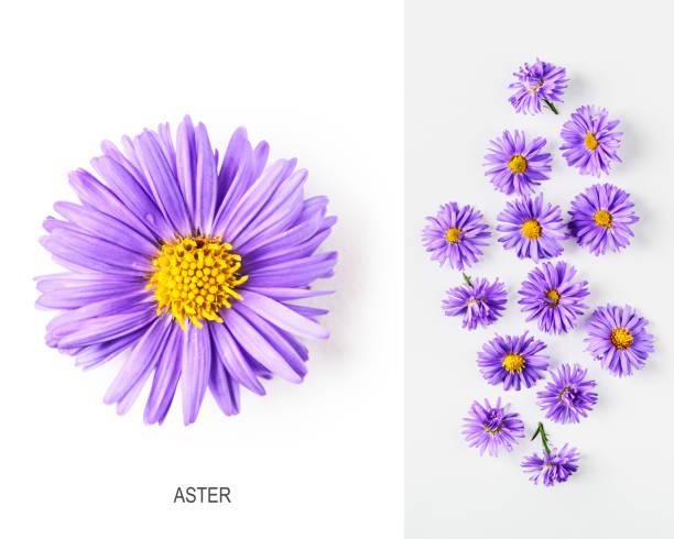 Blue aster flowers layout picture id1186352655?b=1&k=6&m=1186352655&s=612x612&w=0&h=zzjjwd3c4awlfi jrmllju1wc6i4ks8t5c9dogrpoae=