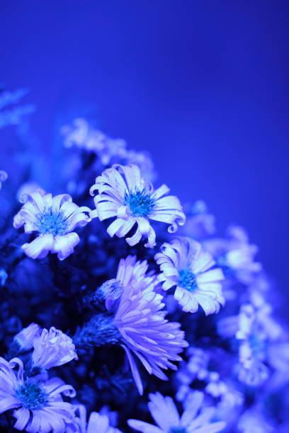 blaue astern auf blauem hintergrund. ein strauß herbstblumen aus nächster nähe. - herbst hochzeitseinladungen stock-fotos und bilder