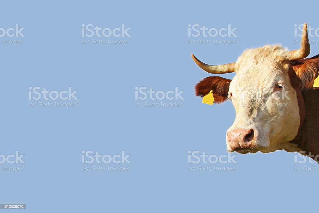 Blue background with a pretty cow with horns from Bavaria stock photo