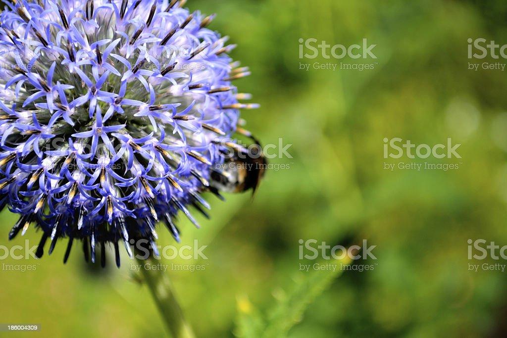 Blue Ball Flower stock photo