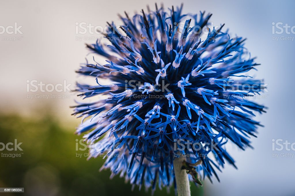 Blue ball thistel stock photo