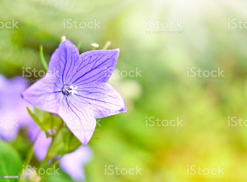 Blue balloon flower stock photo