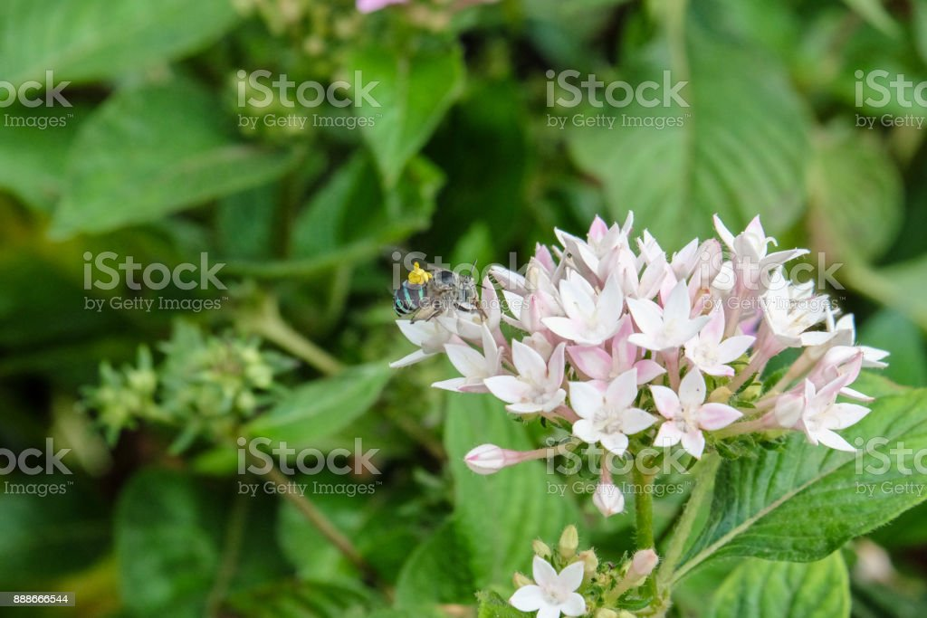  Blue banded bee carrying yellow pollinium stock photo
