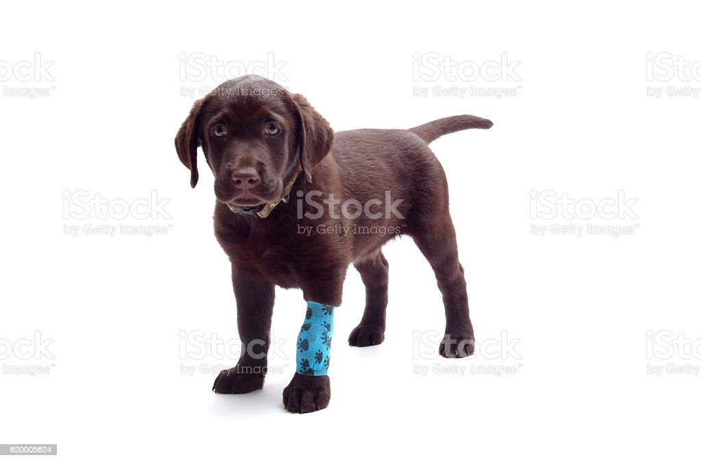 Blue bangade on labrador paw – Foto