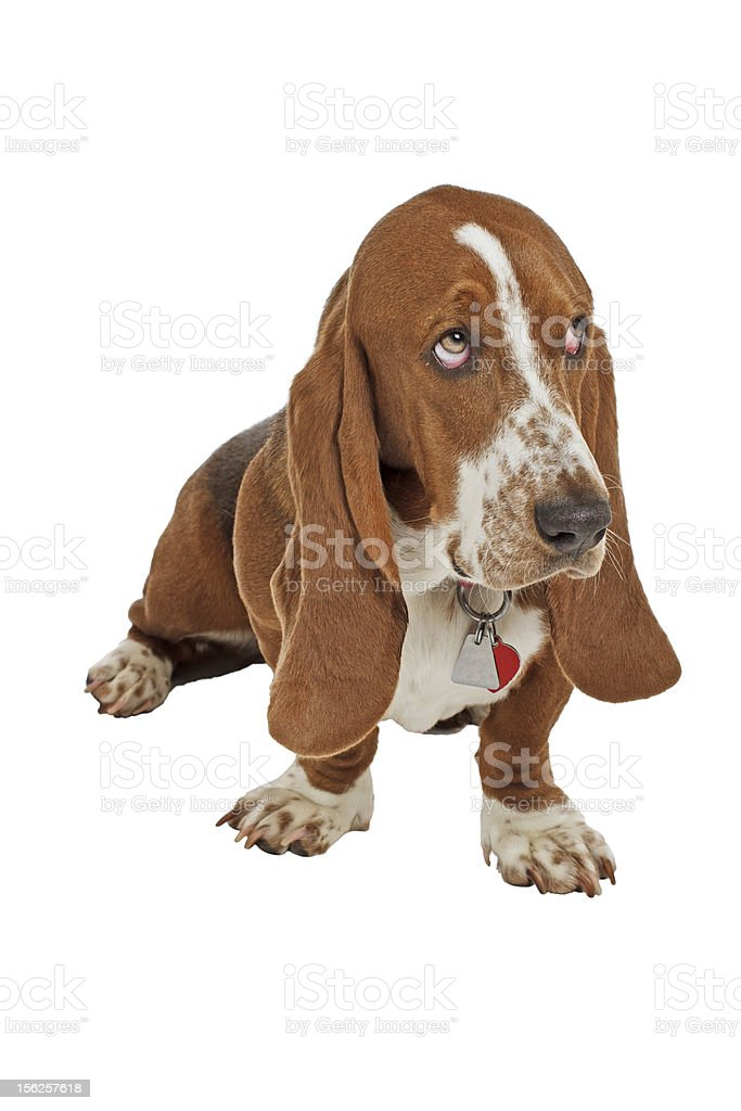 Blue Basset hound puppy sits looking up stock photo