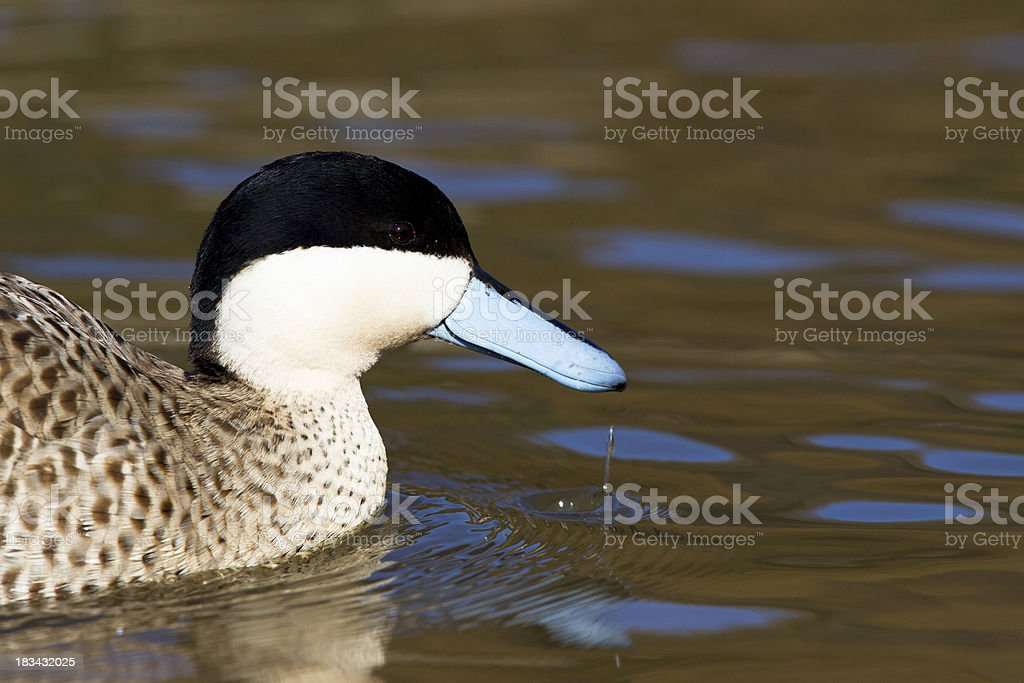 Blue beaked duck on Pond stock photo