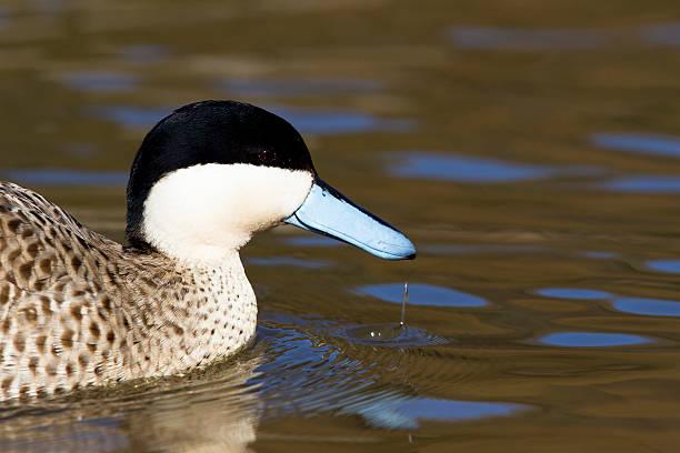 Blue beaked duck on Pond stock photo