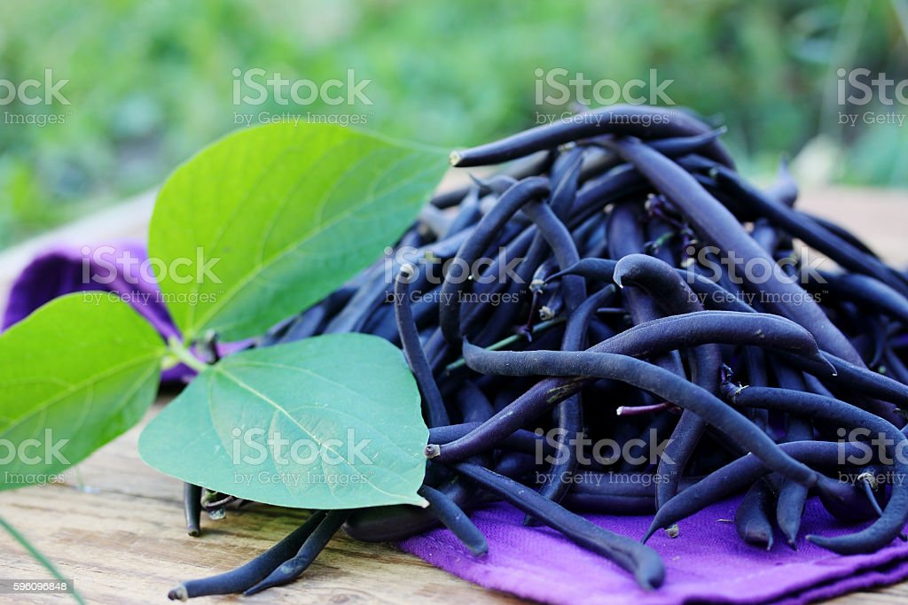 Blue beans in the garden royalty-free stock photo