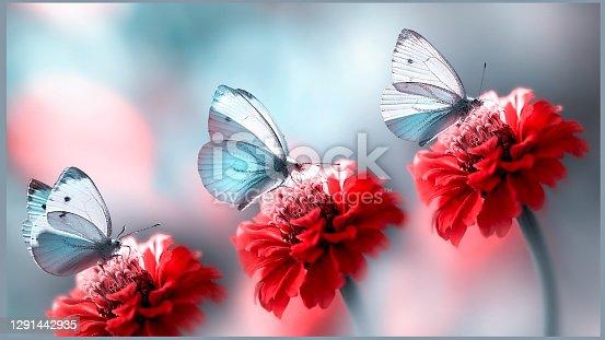Blue beautiful butterflies on red flowers in the summer garden. Spring summer background.