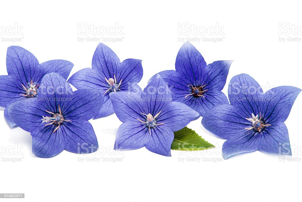 Blue bell flowers isolated on white stock photo