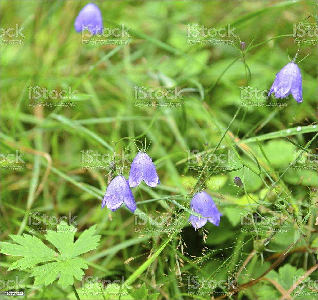 Blue bellflowers in the forest royalty-free stock photo