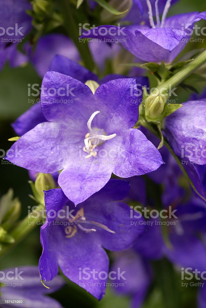 Blue bellflowers royalty-free stock photo