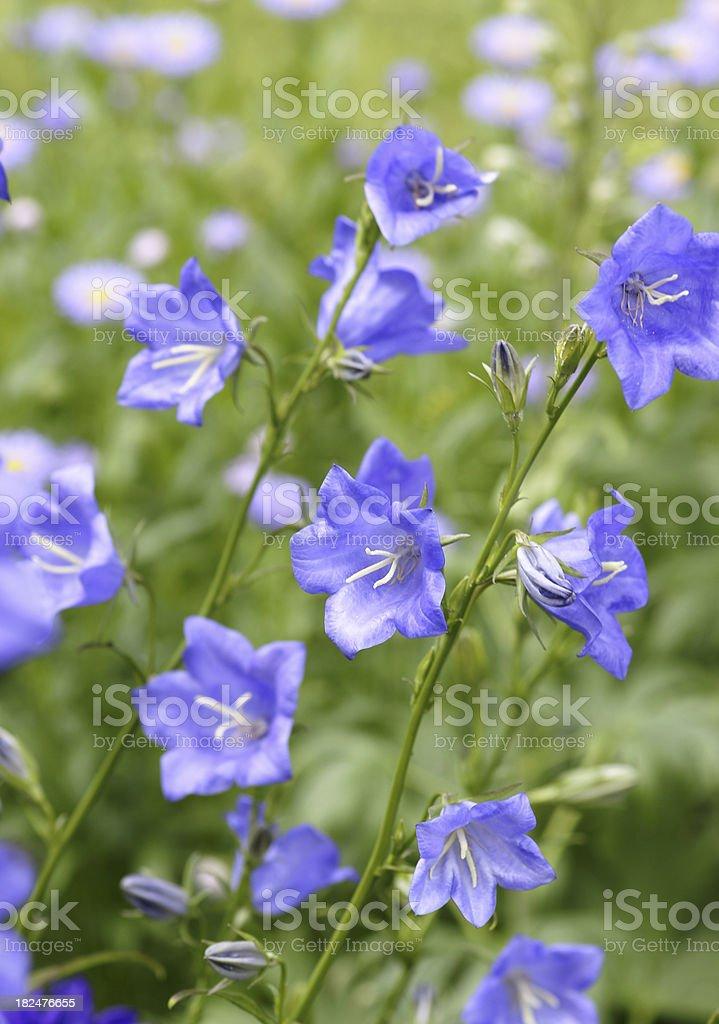 Blue bellflowers royalty-free stock photo