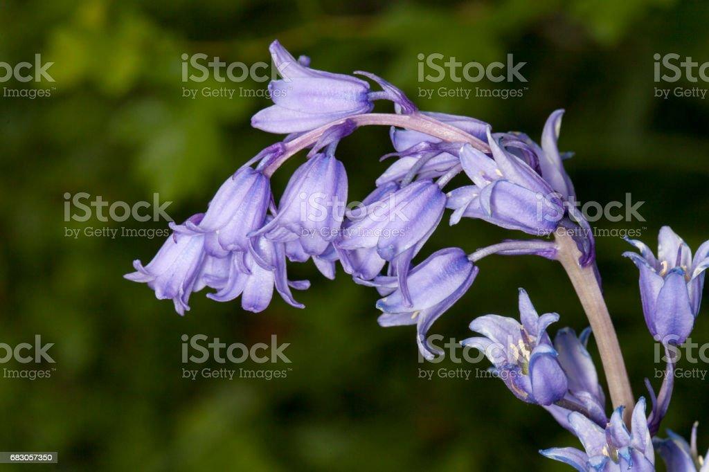 blue bells foto de stock royalty-free