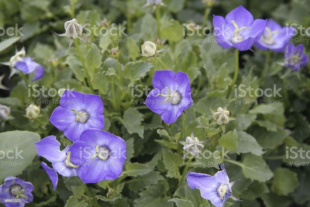 Blue Bells royalty-free stock photo