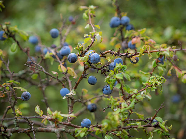 Blue berries on tree branches stock photo