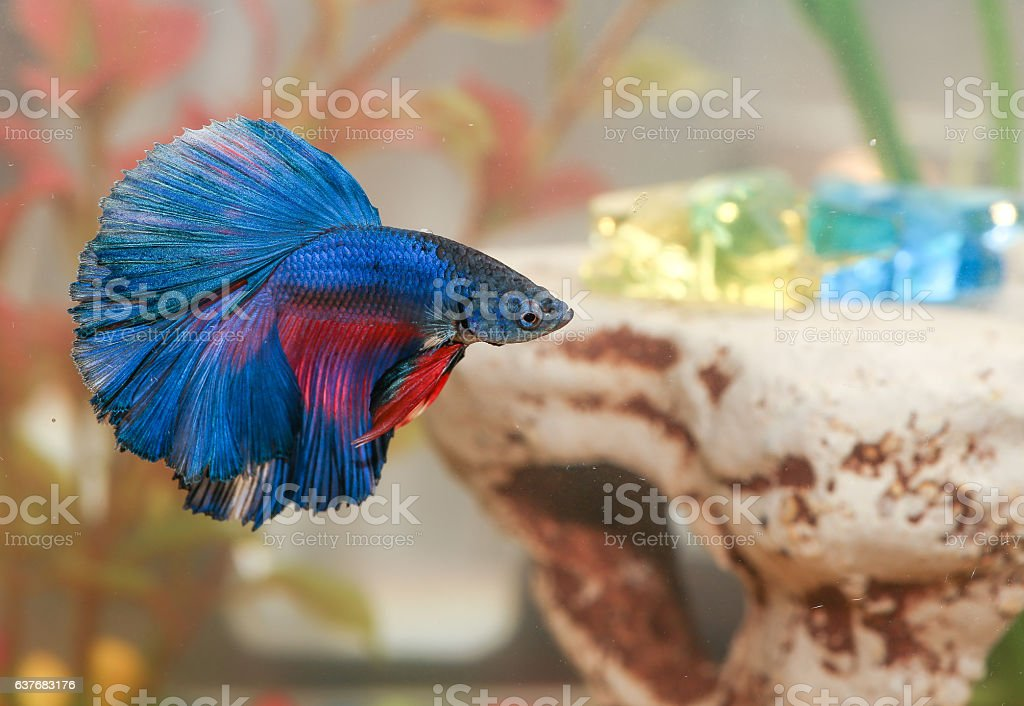 Blue betta fish Aquarian swims in aquarium water stock photo