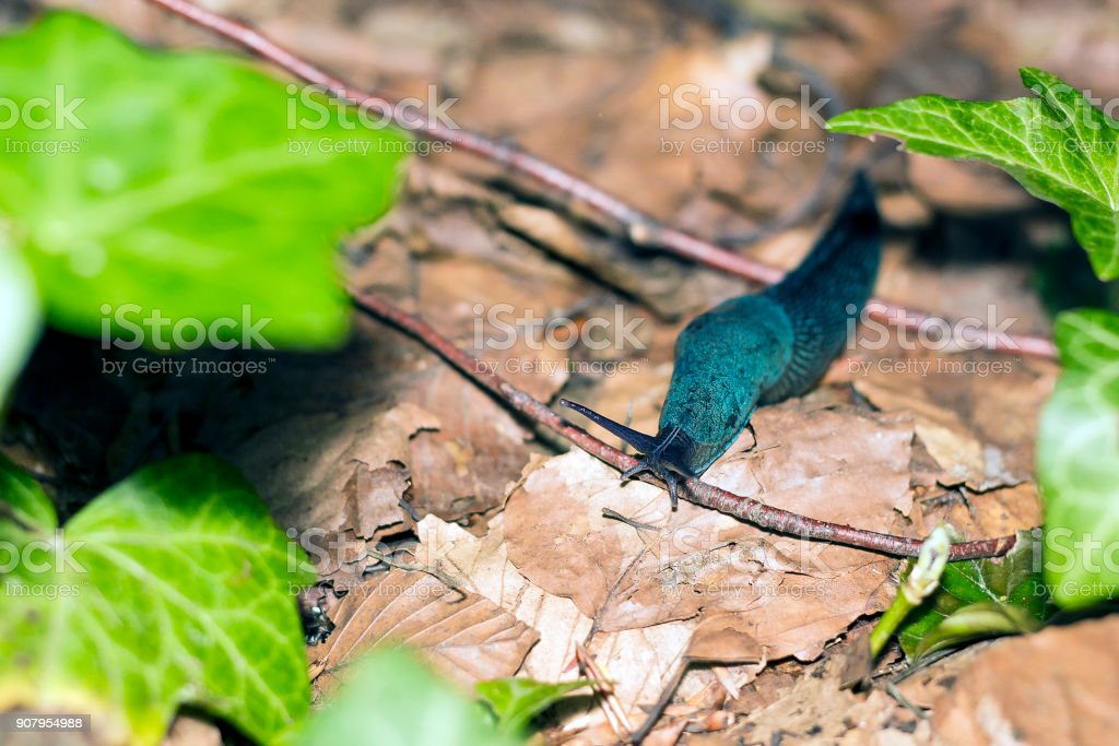 Blue Bielzia coerulans slug crawls over dry leaves stock photo