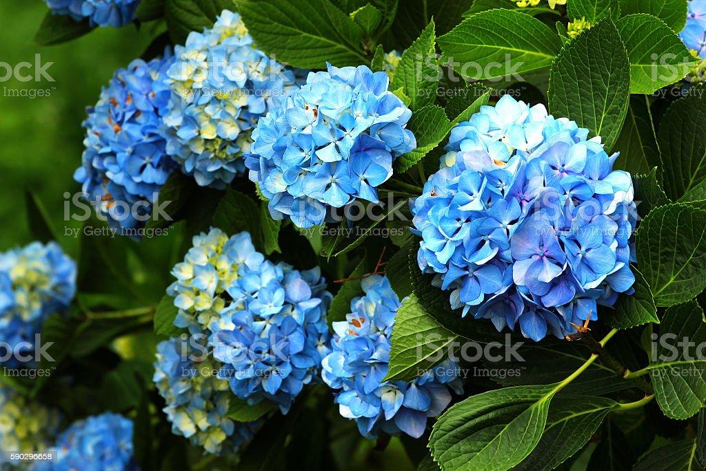 Blue bigleaf hydrangea (Hydrangea macrophylla) flowers Стоковые фото Стоковая фотография