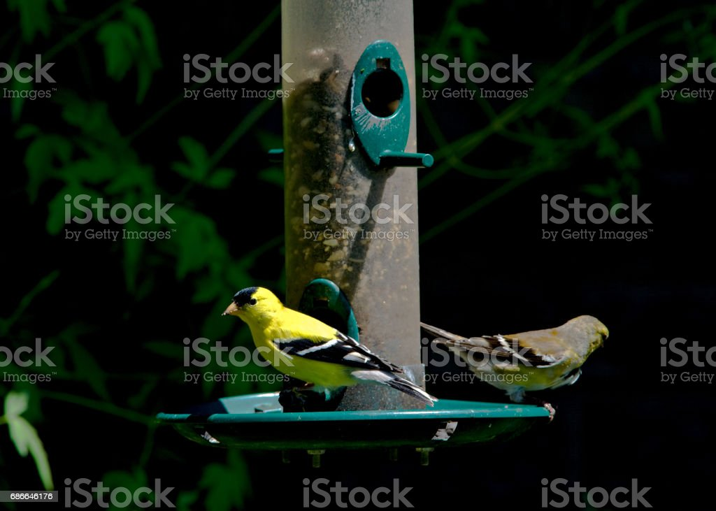 Blue Bird & Finches royalty-free stock photo