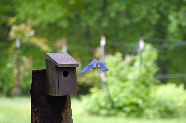 blaue vögel fliegen in richtung vogelhäuschen - wilde hilde stock-fotos und bilder
